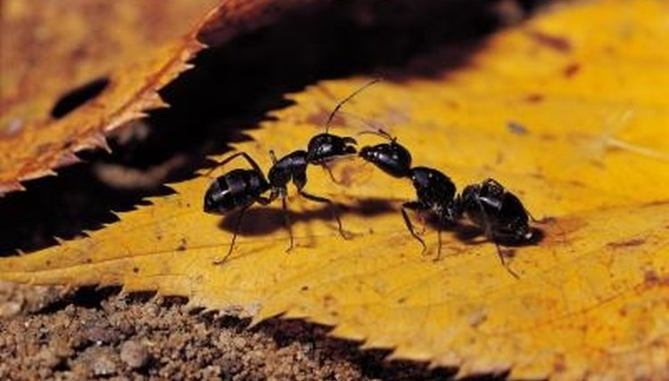 Ants use pheromones to identify nest mates and will fight ants from other colonies.