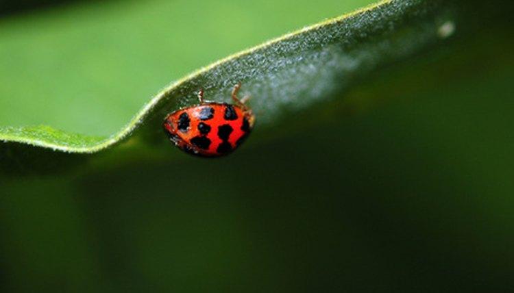 Kill Ladybugs Home Remedies