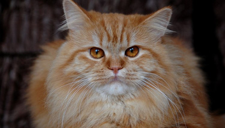 Natural Treatment To Prevent Ear Infections In Cats