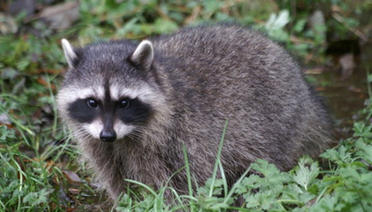 A raccoon is another animal with a masked face.