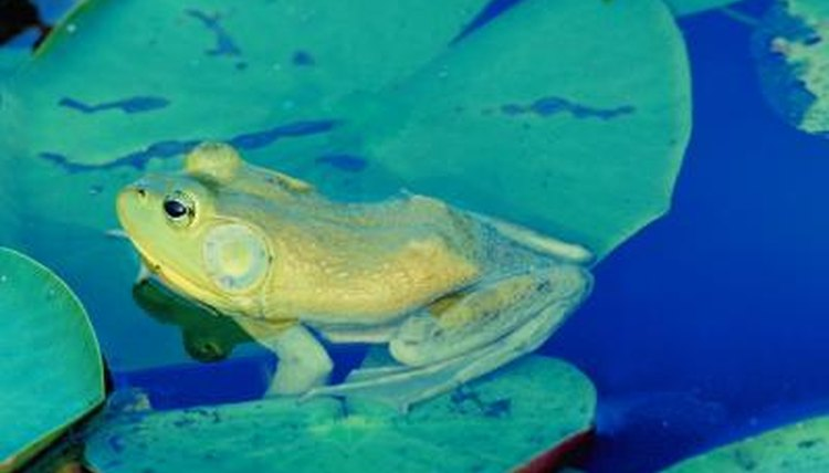 The American bullfrog is a Wisconsin native species.