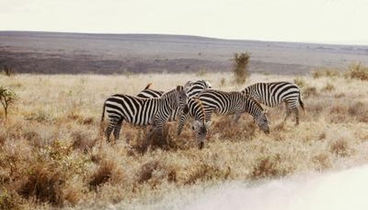Zebras are found in African savannas.