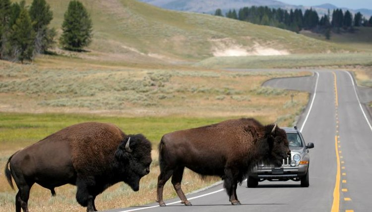 Two bison crossing the road in Yellowstone National Park.