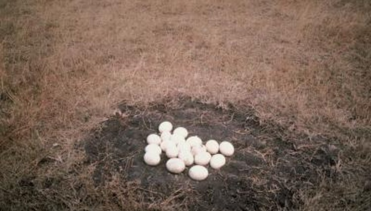 White bird eggs on ground.