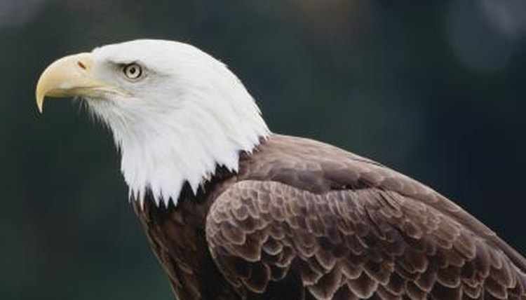 The bald eagle, many species, the Accipitridae family