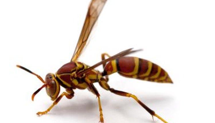 Types of black wasps - photo#52