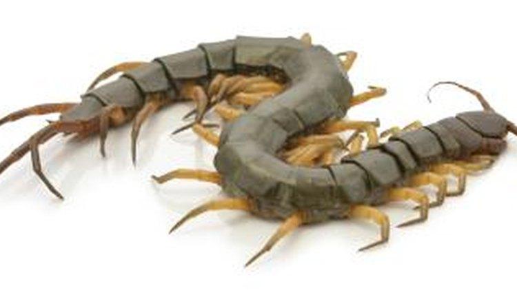 Centipede Life Cycle Diagram