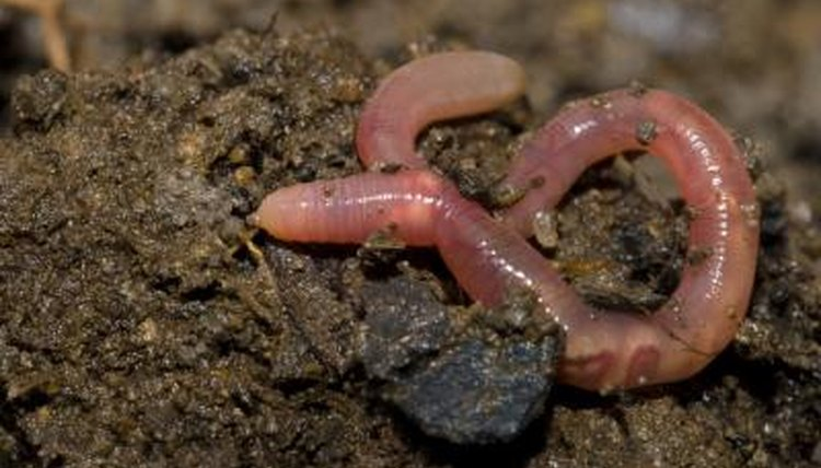 A close-up of an earthworm crawling through the dirt.