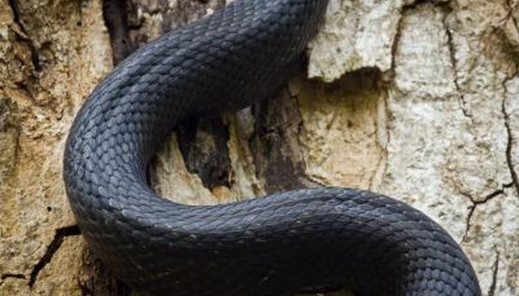 Black snakes and racers are both colubrids and have only one lung.