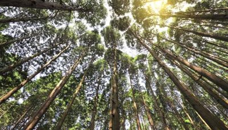 Tall Cedar trees in forest.
