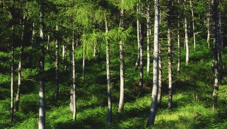 A coniferous forest.