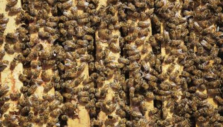 Bee Facts That Will Have You Buzzing   Earthjustice National Geographic Kids