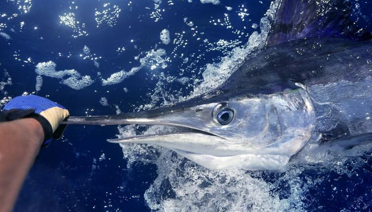 A close up of a swordfish in the Atlantic.