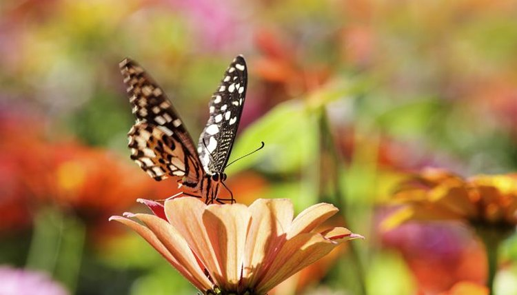 Plant pollination is one of many benefits butterflies offer.