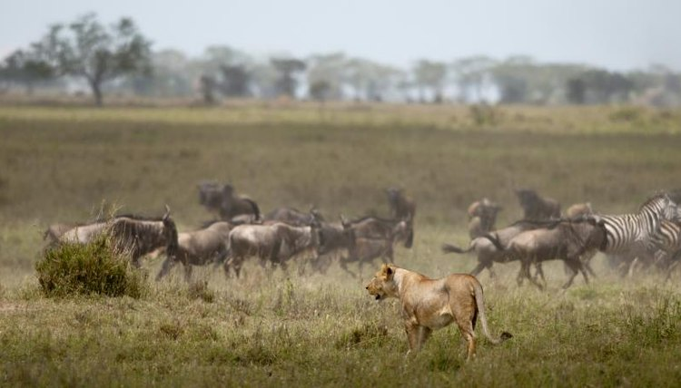 A lioness watching a herd of zebra and wildebeest in the savanna.