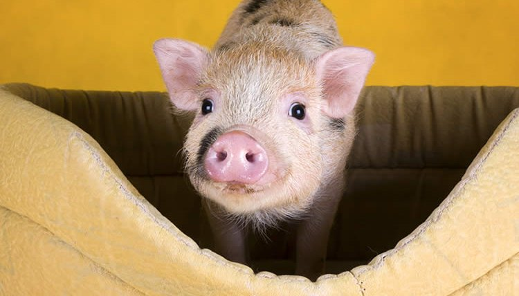 how big do �teacup� piglets get animals momme