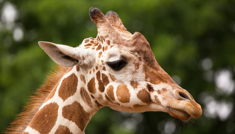 Does Every Giraffe Have Their Own Pattern of Spots Animals momme