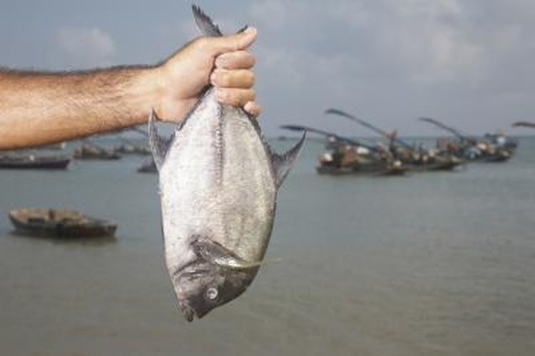 Anglers often catch pompano in the surf on beaches.