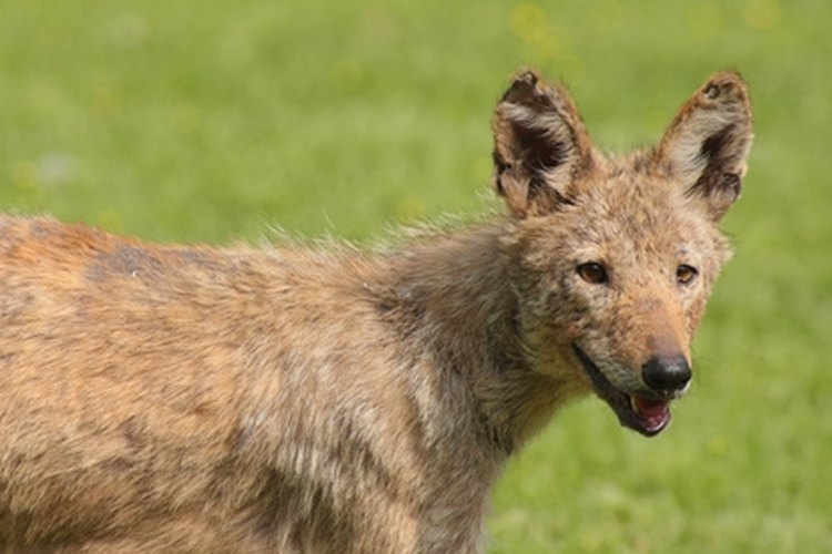 Coyotes can be dangerous to livestock, pets and even to gardens.