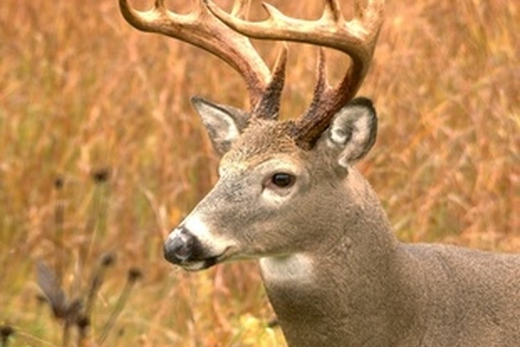 Discover an inexpensive way to mount your trophy bucks on your own.