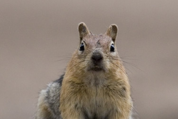 The gray squirrel is the most plentiful of the three species that live in Alabama.