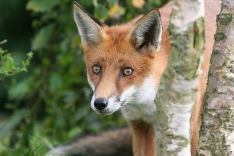 Fox can be hunted from November through February in West Virginia.