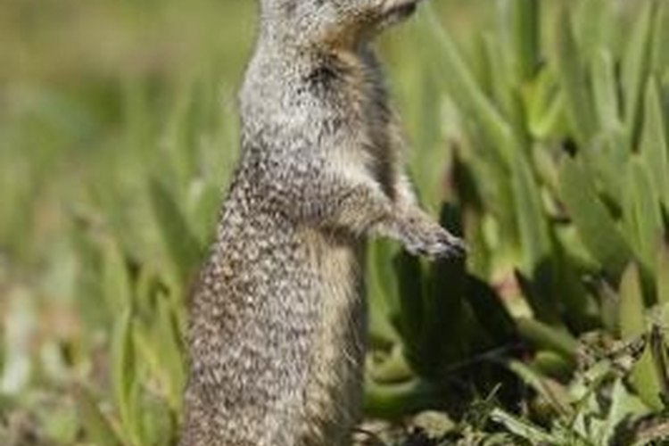 Learn how to humanely kill pesky gophers with a BB gun.