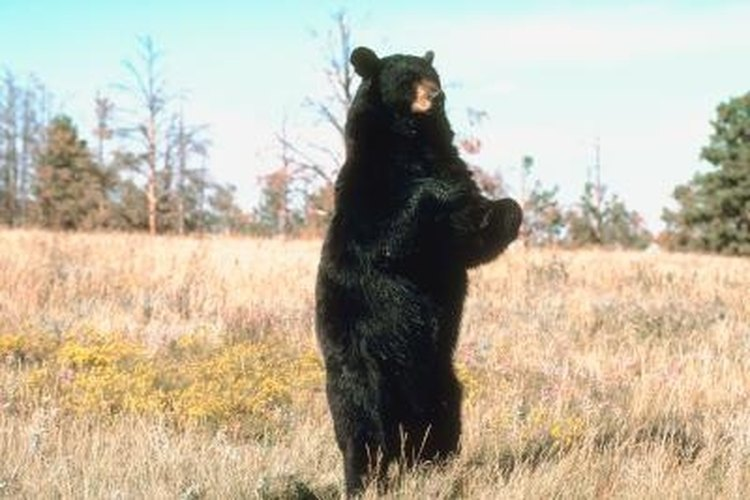 Baiting is most effective for black bears.