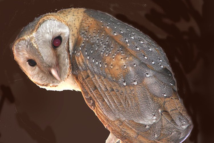 The barn owl requires a specific habitat in which to live.