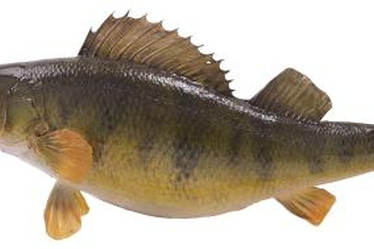 Minnows are a top bait for catching perch.