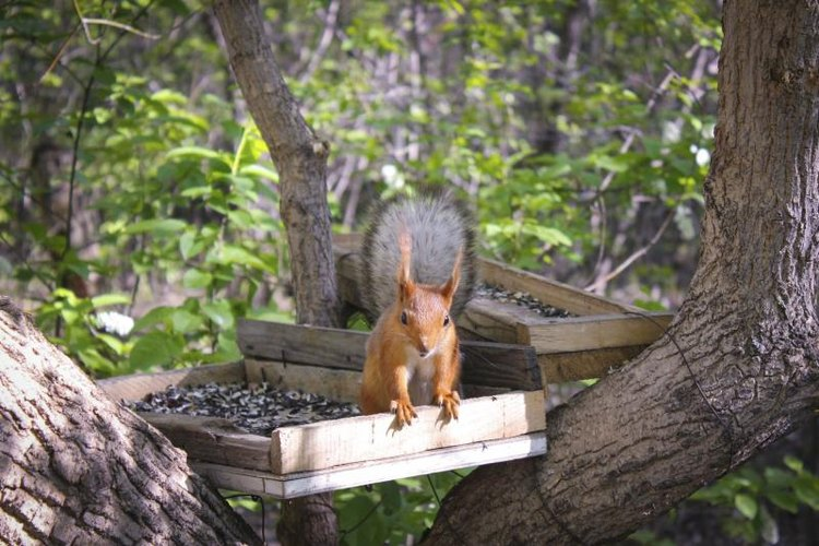 Elevated platform feeders may help lure squirrels away from bird feeders.