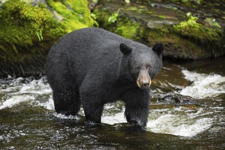 Black bear hunting for salmon in the wild.