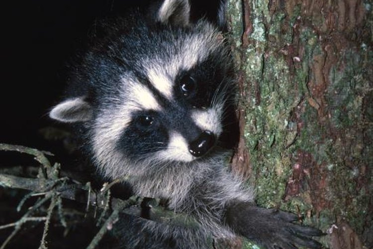 Because raccoons are nocturnal and most likely to be trapped at night, check your traps each morning.