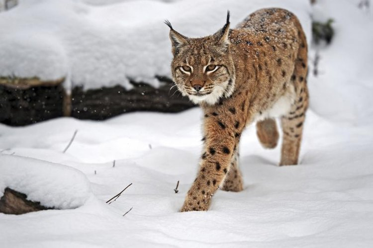 Bobcat walking through the snow.