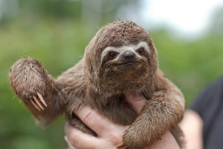 Like other sloths, Hoffman's two-toed sloth is an excellent climber.