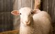 Lamb & Wool Festival in Scio, Oregon
