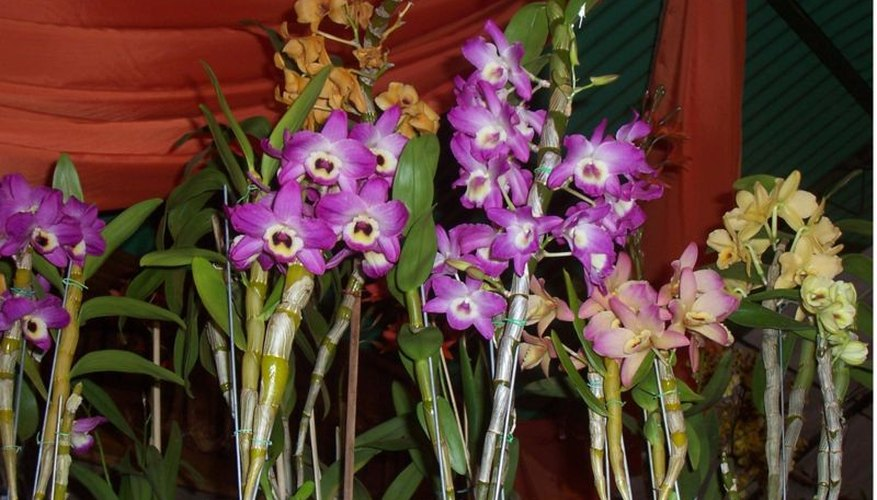 Dendrobium hybrid orchid in bloom