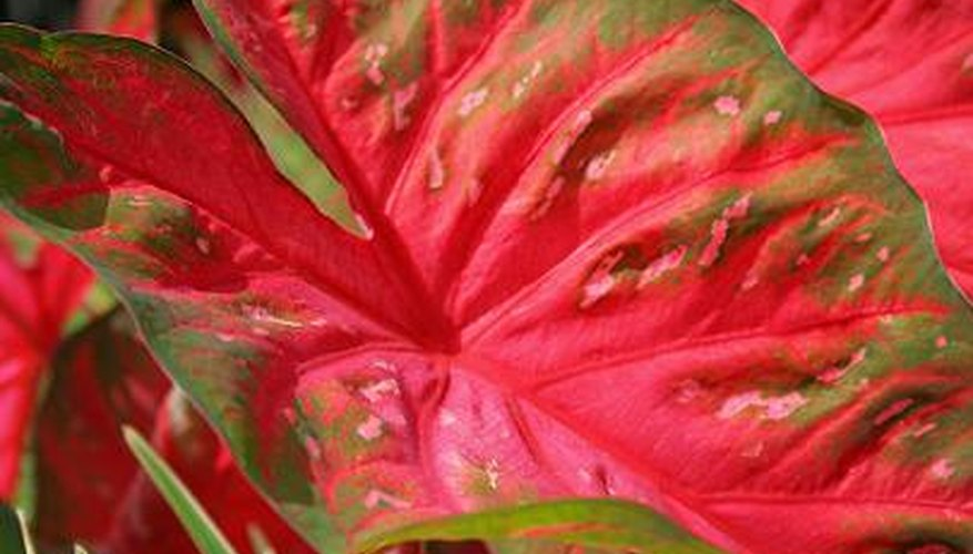 The colorful foliage of caladium.