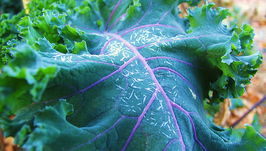 Kale develops a rich color after a frost.