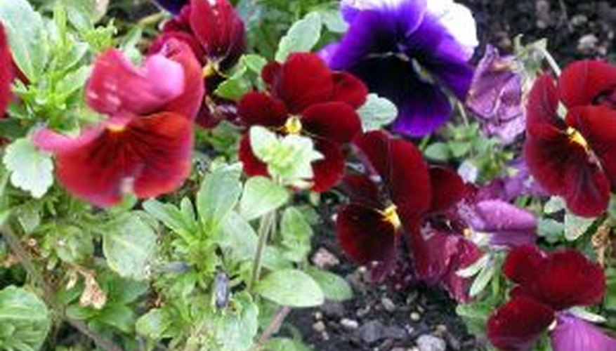 Encourage further blooming by pruning your pansies.