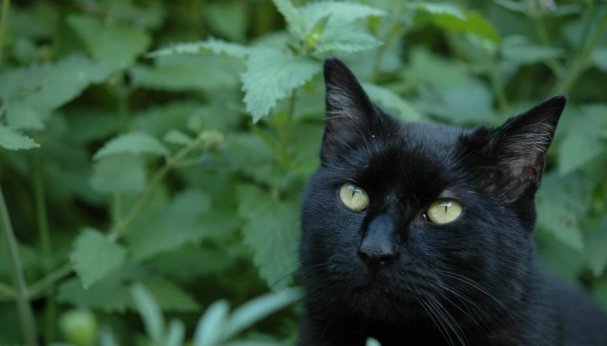 Fragrant catnip has a heady effect on cats.
