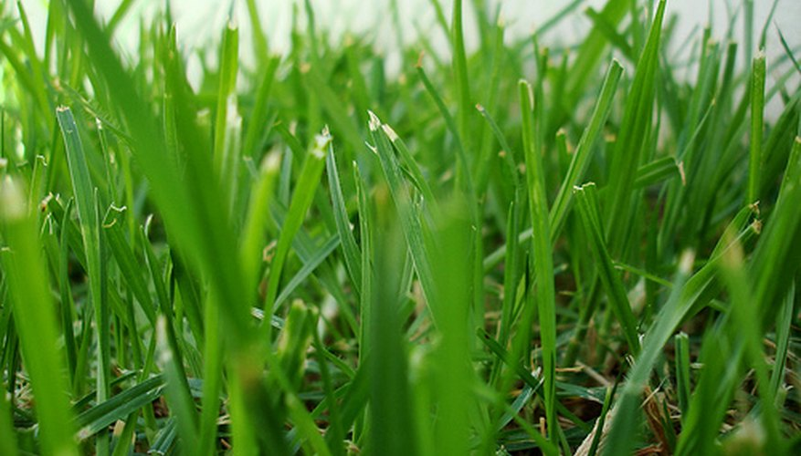 A lush, green, quick growing lawn