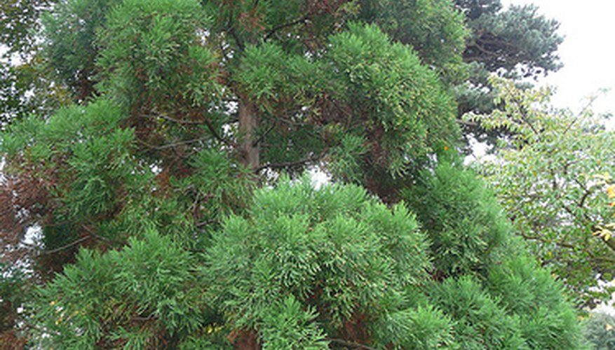 Cryptomeria Japonica, a variety of cryptomeria native to Japan.