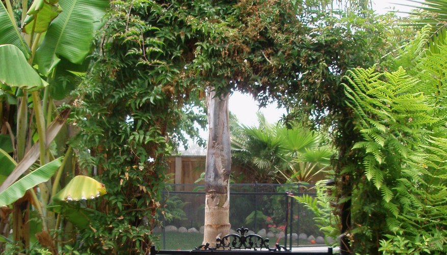 Pink jasmine has taken over an arbor and attached itself to a neighboring banana plant.