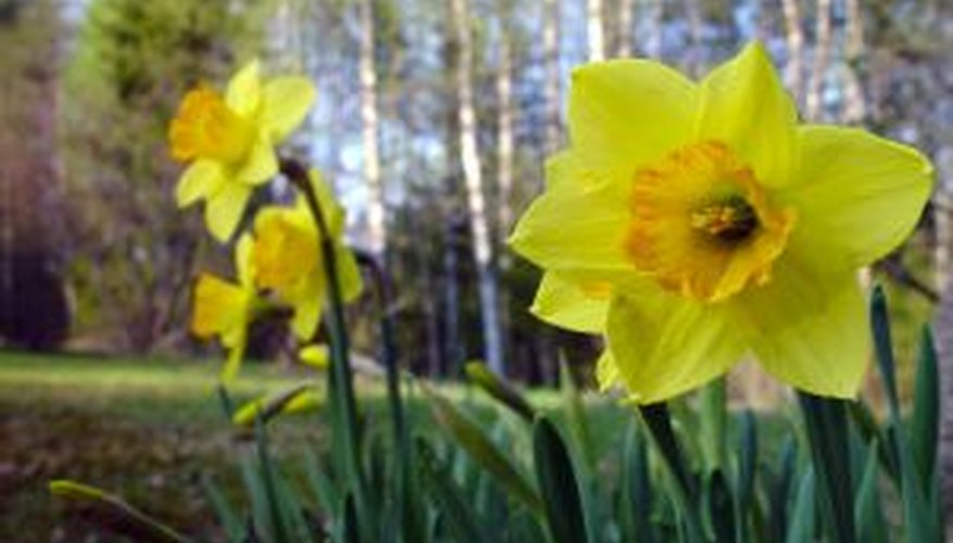 Ensure healthy bloomingin spring with proper winterization of daffodils.