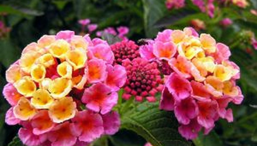 Lantanas bloom from spring until fall.