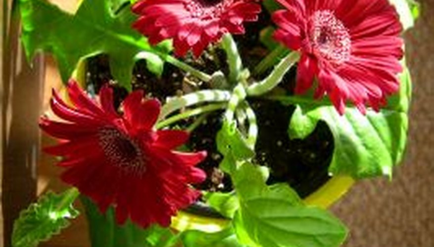 Gerbera daisies thrive indoors in the proper size pot.