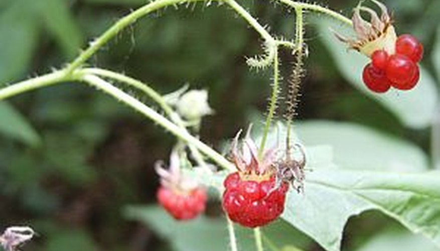Plant raspberry bushes in a sunny location for a bountiful raspberry crop.