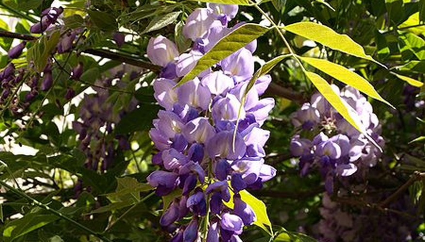 Wisteria in bloom.