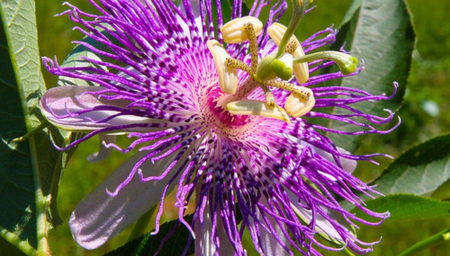 Water passion flower regularly so it flourishes.